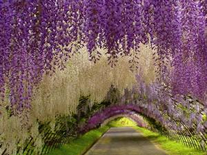 Wisteria-Tunnel-Tochigi-Japan